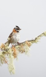 Rufous-collared sparrow, a common bird in the landscapes of Costa Rica but with great beauty, its song is a melody