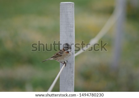 Rufous-collared sparrow (Zonotrichia capensis) perched on rope. Otway Sound and Penguin Reserve. Magallanes Province. Magallanes and Chilean Antarctic Region. Chile. #1494780230
