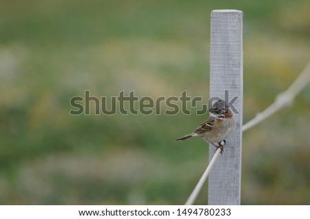Rufous-collared sparrow (Zonotrichia capensis) perched on rope. Otway Sound and Penguin Reserve. Magallanes Province. Magallanes and Chilean Antarctic Region. Chile. #1494780233