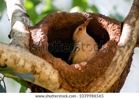 Rufous Hornero. The bird that builds its house from clay to procreate. Joao de Barro. Furnarius rufus. Nest. birdwatcher.
