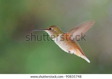rufous hummingbird - stock photo