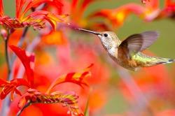 Rufous Hummingbird feeding on Crocosmia Flowers