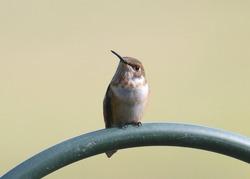 Rufous Hummingbird (female) perched on a bird feeder pole