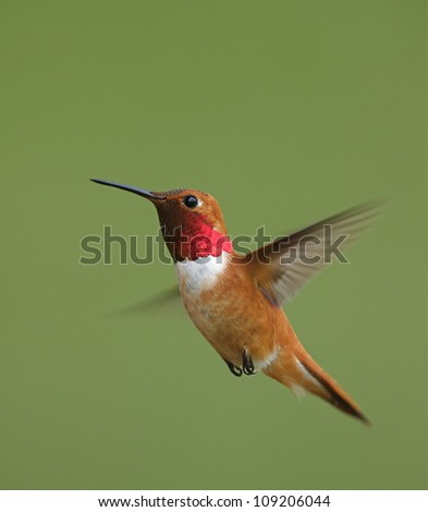 Rufous Hummingbird in flight, isolated on a smooth green background, vertical format