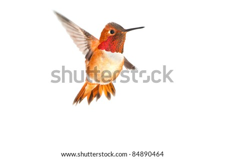 Rufous Hummingbird in flight, Male  - white background