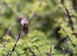 Rufous Hummingbird perched on a branch next to some wild flowers that it is guarding against intruders. These birds are very territorial and will not let others of its species come close.