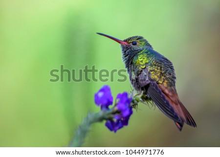 Rufous-tailed Hummingbird - Amazilia tzacatl, beautiful colorful small hummingbird from Costa Rica La Paz.