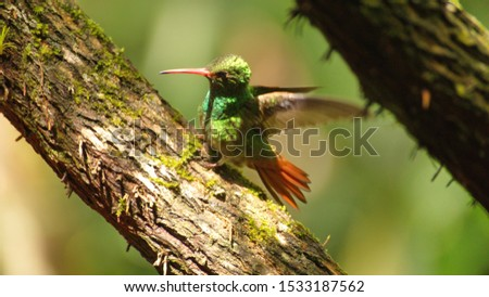 Rufous-tailed hummingbird (Amazilia Tzatcl) perched on a branch with its wings extended in Mindo, Ecuador