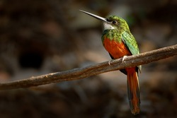 Rufous-tailed Jacamar, Galbula ruficauda, green and orange bird with long bill sitting on the tree branch, bird in the nature habitat, Baranco Alto, Pantanal, Brazil.