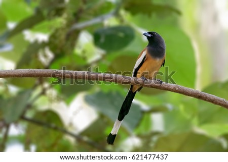 Rufous Treepie perched on a branch of a tree at Thiruvananthapuram, Kerala, India