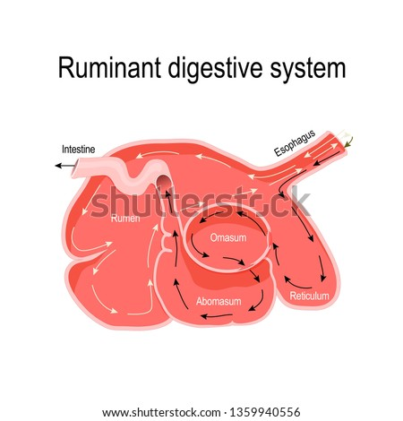 ruminant digestive system. cross-section of the ruminant stomach: rumen (primary site of microbial fermentation), reticulum, omasum, and abomasum (true stomach).