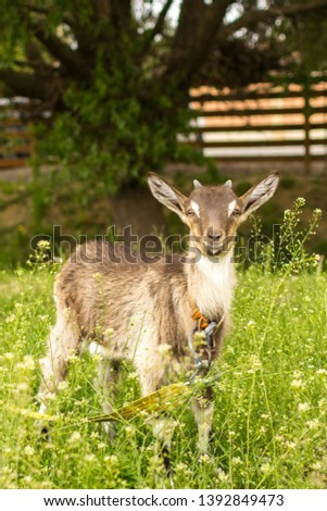 Ruminant ruminant. Brown goat with horns. Cattle in the village. Muzzle goat close-up. Pasture in the summer. Field with grass and wildflowers. Rural life. Cloven-hoofed pet.