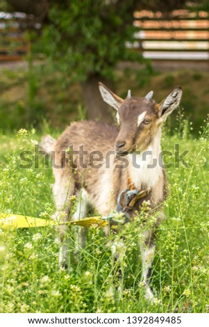 Ruminant ruminant. Brown goat with horns. Cattle in the village. Muzzle goat close-up. Pasture in the summer. Field with grass and wildflowers. Rural life. Cloven-hoofed pet. #1392849485