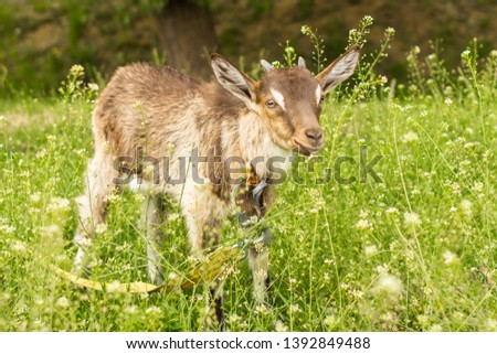 Ruminant ruminant. Brown goat with horns. Cattle in the village. Muzzle goat close-up. Pasture in the summer. Field with grass and wildflowers. Rural life. Cloven-hoofed pet. #1392849488
