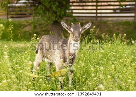 Ruminant ruminant. Brown goat with horns. Cattle in the village. Muzzle goat close-up. Pasture in the summer. Field with grass and wildflowers. Rural life. Cloven-hoofed pet. #1392849491