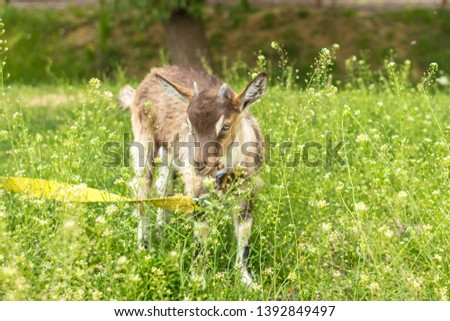 Ruminant ruminant. Brown goat with horns. Cattle in the village. Muzzle goat close-up. Pasture in the summer. Field with grass and wildflowers. Rural life. Cloven-hoofed pet. #1392849497