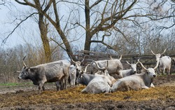 Ruminanting Hungarian grey cattle outside of the stable
