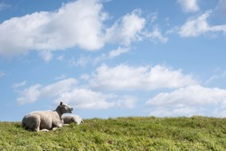 Ruminating white sheep with open mouth lies together with another sheep in the sunny green grass of a dike with a low horizon under a blue cloudy sky