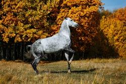 Runaway white grey stallion horse standing on its hind legs in autumn field