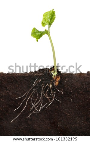 Runner bean vegetable seedling in soil showing a newly developed root system and two new leaves against a white background