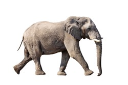 running african Elephant isolated on white background, graphic object