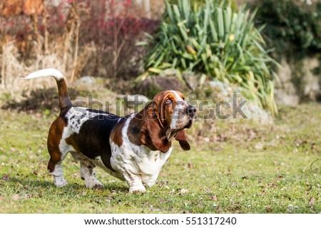 Running basset hound, run basset, crazy basset hound #551317240