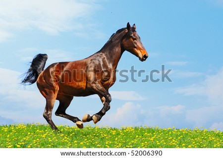 Running bay horse in the field