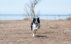 running border-collie