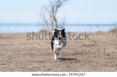running border-collie