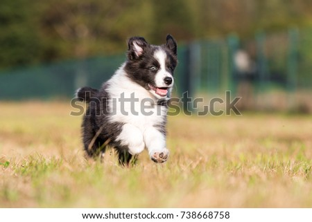 Running border collie puppy #738668758