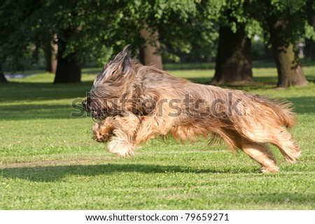 Running briard dog in park place #79659271