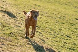 running brown labrador retriever on field