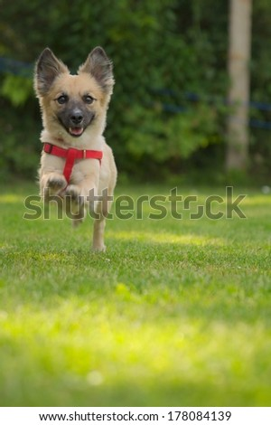 running brown little small happy dog animal eyes head