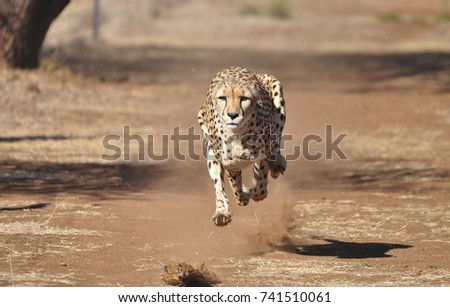 Running cheetah, exercising with a lure, completely airborne.