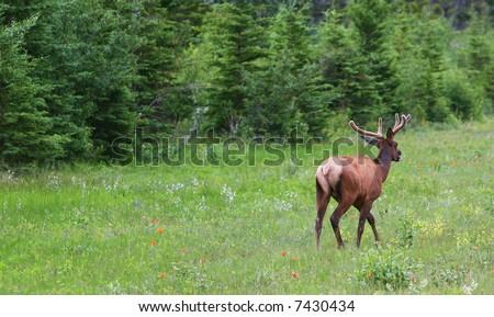 Running deer - banff national park. Alberta, Canada
