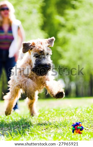 Running dog on grass catch ball (Irish soft coated wheaten terrier)