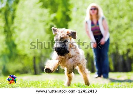 Running dog on green grass and ball (Irish soft coated wheaten terrier)