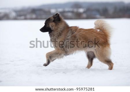 running eurasier in the snow