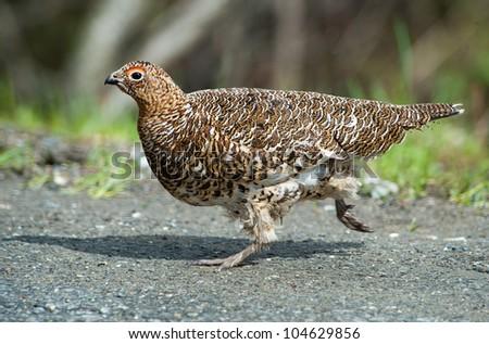 Running female of lagopus