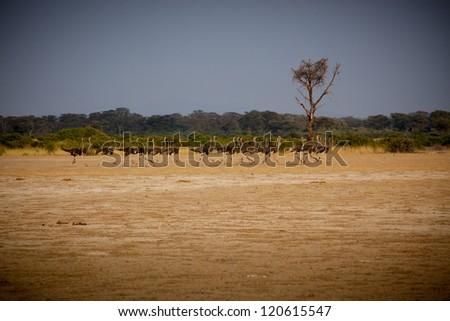 Running flock of Ostrich