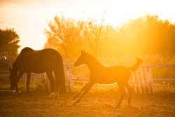 running foal in sunset and grazing mother