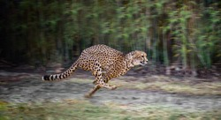 running full speed cheetah