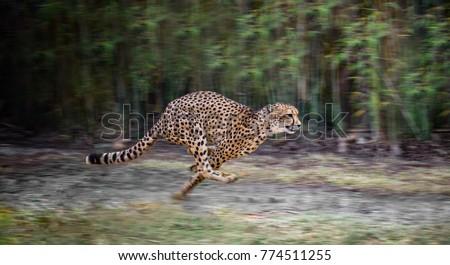 running full speed cheetah