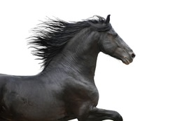 Running gallop Friesian black horse on the white