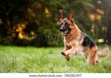 Running german shepherd dog Сток-фото ©