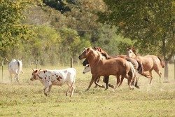 Running horses and Texas Longhorn cattle