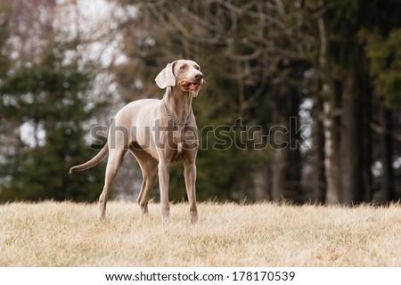 Running Hungarian hound dog on dry grass #178170539