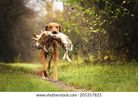 running hunting rhodesian ridgeback dog holding hare #205357825