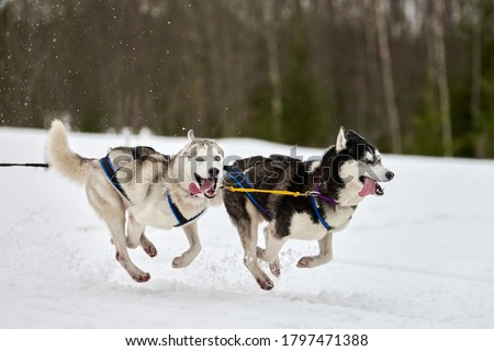 Running Husky dog on sled dog racing. Winter dog sport sled team competition. Siberian husky dog in harness pull skier or sled with musher. Active running on snowy cross country track road Foto stock ©