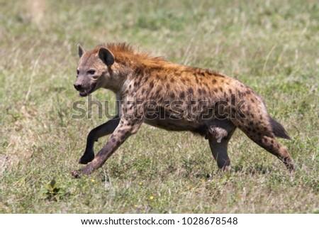 Running hyena in Serengeti National Park in Tanzania